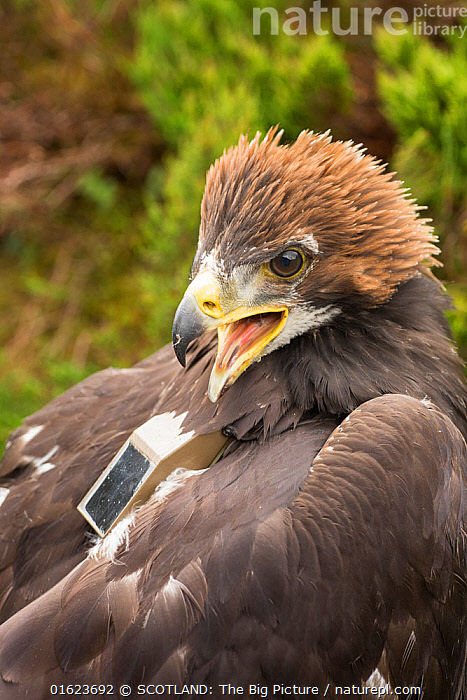 Golden eagle (Aquila chrysaetos) chick with radio transmitter fitted for the purpose of satellite tracking the bird's movements, Cairngorms National Park, Scotland, UK, June., Animal,Wildlife,Vertebrate,Bird,Birds,True eagle,Golden eagle,Animalia,Animal,Wildlife,Vertebrate,Aves,Bird,Birds,Accipitriformes,Accipitridae,Aquila,True eagle,True eagles,Eagle,Bird of prey,Raptor,Aquila chrysaetos,Golden eagle,Europe,Western Europe,UK,Great Britain,Scotland,Highland,Young Animal,Baby,Chick,Highlands of Scotland,Cairngorms,Cairngorms National Park,Aquila chrysaetus,SCOTLAND: The Big Picture,Mark Hamblin,Birds of Prey,, SCOTLAND: The Big Picture