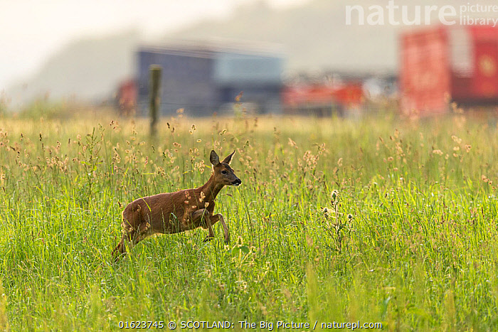 Roe deer, (Capreolus capreolus) doe in grassland habitat with farm buildings in background, Scotland, UK.July, Animal,Wildlife,Vertebrate,Mammal,Deer,Roe deer,Animalia,Animal,Wildlife,Vertebrate,Mammalia,Mammal,Artiodactyla,Even-toed ungulates,Cervidae,Deer,True deer,ruminantia,Ruminant,Capreolus,Roe deer,Capreolus capreolus,Europe,Western Europe,UK,Great Britain,Scotland,Profile,Side View,Female animal,Doe,Does,Farm,Farms,Grassland,Hind,Hinds,SCOTLAND: The Big Picture,Mark Hamblin,, SCOTLAND: The Big Picture
