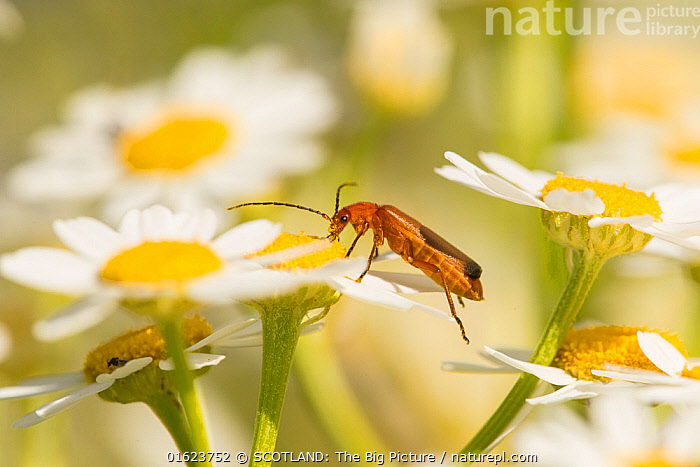 Beetle, (Rhagonycha fulva), feeding on oxeye daisy flower, Scotland, UK, July.  ,  Angiosperm,Angiospermae,Animal,Animalia,Arthropod,Arthropoda,Asteraceae,Asterales,Asteranae,Asterid,Beetle,Belidae,Cantharidae,Cantharinae,Cantharis fulva,catalogue12,Chrysanthemum ircutiana,Chrysanthemum leucanthemum,Cicindela maculata,Coleoptera,Common red soldier beetle,Compositae,Daisies,Daisy,Dicot,Dicotyledon,Endopterygota,Europe,Feeding,Flower,Flowering plant,Great Britain,Hexapod,Hexapoda,Insect,Insecta,Invertebrate,Leatherwing,Leucanthemum,Leucanthemum praecox,Leucanthemum vulgare,Magnoliopsida,Marguerite,Mark Hamblin,Neoptera,Ox eye daisy,Oxeye Daisies,Ox-Eye Daisies,Oxeye daisy,Ox-Eye Daisy,Oxeyedaisy,Plant,plant plant,Plantae,Polyphaga,Profile,Rhagonycha,Rhagonycha cailloli,Rhagonycha fulva,Rhinotia,Scotland,SCOTLAND: The Big Picture,Side View,Soldier beetle,Spermatophyte,Spermatophytina,Sunflower Family,Tracheophyta,UK,Vascular plant,Western Europe,Wildlife  ,  SCOTLAND: The Big Picture