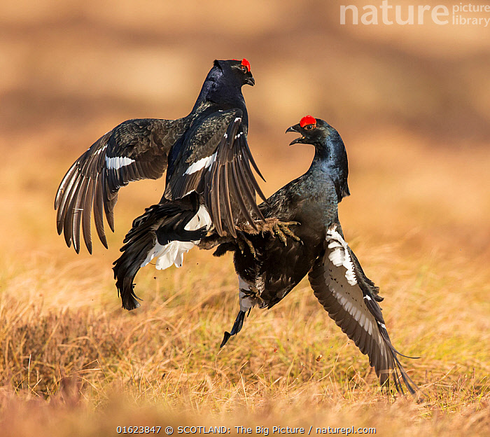 RF - Black Grouse (Tetrao tetrix), two males fighting on lek , Scotland, UK.April (This image may be licensed either as rights managed or royalty free.)  ,  Animal,Wildlife,Vertebrate,Bird,Birds,Grouse,Black grouse,Animalia,Animal,Wildlife,Vertebrate,Aves,Bird,Birds,Galliformes,Galliforms,Galloanserae,Phasianidae,Tetrao,Grouse,Tetraonidae,Tetraoninae,Tetrao tetrix,Black grouse,Eurasian black grouse,Blackgame,Courting,Europe,Western Europe,UK,Great Britain,Scotland,Male Animal,Animal Behaviour,Reproduction,Mating Behaviour,Courtship,Aggression,Fighting,Behaviour,Lekking,Lyurus tetrix,Northern Black Grouse,SCOTLAND: The Big Picture,Mark Hamblin,Behavioural,RF,Royalty free,Gamebird,Gamebirds,Game bird,Game birds,RF,Royalty free,,,RF5,  ,  SCOTLAND: The Big Picture