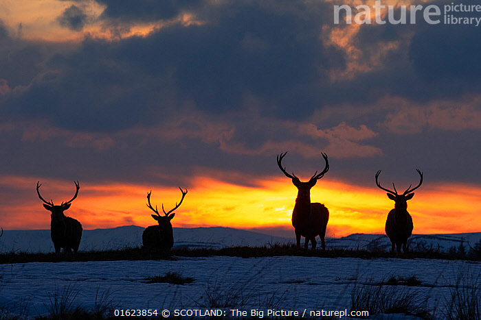 RF - Red deer, (Cervus elaphus), stags silhouetted at sunset in winter, Scotland, UK.February (This image may be licensed either as rights managed or royalty free.), Animal,Wildlife,Vertebrate,Mammal,Deer,Red Deer,Animalia,Animal,Wildlife,Vertebrate,Mammalia,Mammal,Artiodactyla,Even-toed ungulates,Cervidae,Deer,True deer,ruminantia,Ruminant,Cervus,Cervus elaphus,Red Deer,Europe,Western Europe,UK,Great Britain,Scotland,Back Lit,Male Animal,Stag,Stags,Sky,Cloud,Sunset,Setting Sun,Sunsets,Winter,Silhouette,Dusk,SCOTLAND: The Big Picture,Mark Hamblin,RF,Royalty free,, SCOTLAND: The Big Picture