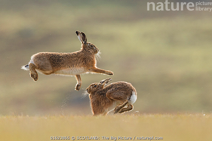 RF - Brown hare, (Lepus europaeus), male and female displaying courtship behaviour, Islay, Scotland, UK., March (This image may be licensed either as rights managed or royalty free.)  ,  Animal,Wildlife,Vertebrate,Mammal,Lagomorph,Leporid,Hare,Brown Hare,Animalia,Animal,Wildlife,Vertebrate,Mammalia,Mammal,Lagomorpha,Lagomorph,Leporidae,Leporid,Lepus,Hare,Lepus europaeus,Brown Hare,European Brown Hare,European Hare,Eulagos europaeus,Courting,Two,March,Europe,Western Europe,UK,Great Britain,Scotland,Animal Behaviour,Reproduction,Mating Behaviour,Courtship,Male female pair,Behaviour,Hebrides,Inner Hebrides,Islay,Scottish islands,Scottish isles,Isle of Islay,SCOTLAND: The Big Picture,Mark Hamblin,Behavioural,RF,Royalty free,,RF,Royalty free,,,RF5,  ,  SCOTLAND: The Big Picture
