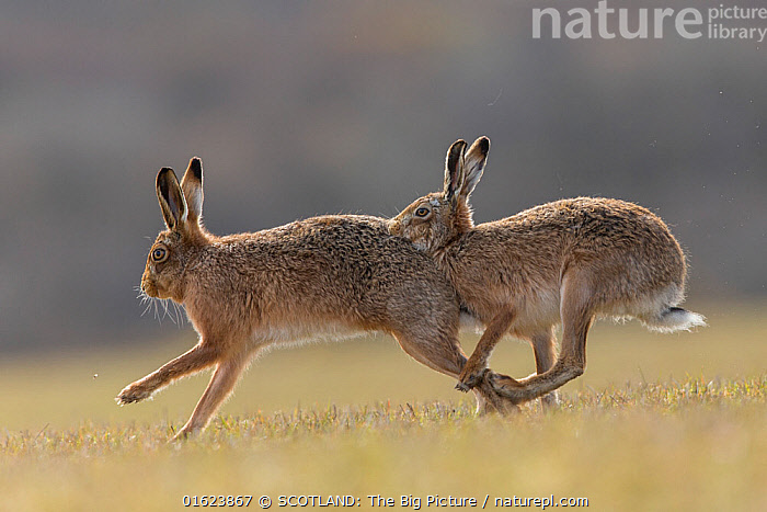 RF - Brown hare, (Lepus europaeus) male pursuing female that is in season, Islay, Scotland, UK., March (This image may be licensed either as rights managed or royalty free.)  ,  Animal,Wildlife,Vertebrate,Mammal,Lagomorph,Leporid,Hare,Brown Hare,Animalia,Animal,Wildlife,Vertebrate,Mammalia,Mammal,Lagomorpha,Lagomorph,Leporidae,Leporid,Lepus,Hare,Lepus europaeus,Brown Hare,European Brown Hare,European Hare,Eulagos europaeus,Courting,Two,March,Europe,Western Europe,UK,Great Britain,Scotland,Animal Behaviour,Reproduction,Mating Behaviour,Courtship,Male female pair,Behaviour,Hebrides,Inner Hebrides,Islay,Scottish islands,Scottish isles,Isle of Islay,SCOTLAND: The Big Picture,Mark Hamblin,Behavioural,RF,Royalty free,  ,  SCOTLAND: The Big Picture