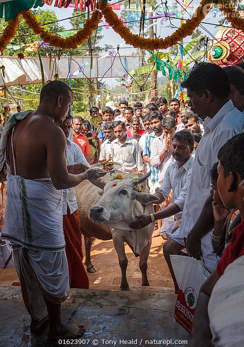 Men blessing cow in Kumbhabhishekam, a Hindu ritual. Pandalur, Tamil Nadu, India. 2014.  ,  Collecting,People,Man,Group,Group Of People,Asia,Indian Subcontinent,India,Animal,Female animal,Cow,Livestock,Religion,Eastern Religion,Eastern Religions,Hinduism,Domestic animal,Cattle,Domesticated,Ritual,Event,Mammal,  ,  Tony Heald