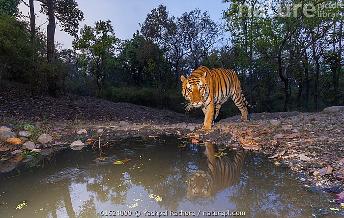 Bengal tiger (Panthera tigris tigris) dominant male approaching 'Beja pani' waterhole, Kanha National Park, Central India. Camera trap image.  ,  Animal,Wildlife,Vertebrate,Mammal,Carnivore,Cat,Big cat,Tiger,Bengal tiger,Animalia,Animal,Wildlife,Vertebrate,Mammalia,Mammal,Carnivora,Carnivore,Felidae,Cat,Panthera,Big cat,Panthera tigris,Tiger,Felis tigris,Tigris striatus,Tigris regalis,Asia,Indian Subcontinent,India,Low Angle View,Male Animal,Water Hole,Water Holes,Freshwater,Water,Reserve,Bengal tiger,Indian tiger,Protected area,National Park,Madhya Pradesh,Kanha National Park,Endangered species,threatened,Endangered,catalogue12  ,  Yashpal Rathore