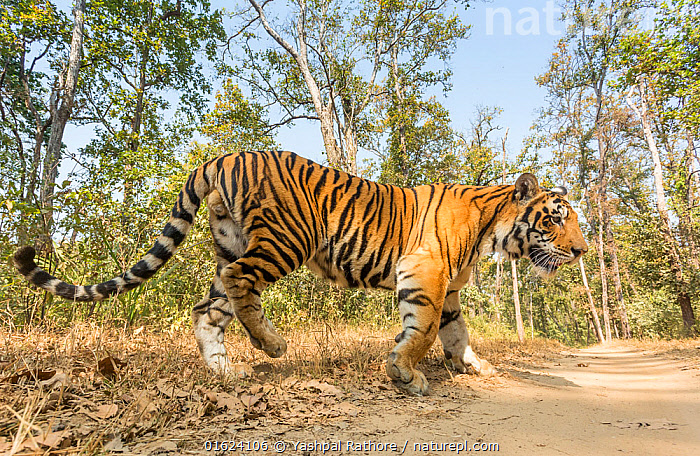 Bengal tiger (Panthera tigris tigris) sub-adult male crossing track, Kanha National Park, Central India. Camera trap image.  ,  Animal,Wildlife,Vertebrate,Mammal,Carnivore,Cat,Big cat,Tiger,Bengal tiger,Animalia,Animal,Wildlife,Vertebrate,Mammalia,Mammal,Carnivora,Carnivore,Felidae,Cat,Panthera,Big cat,Panthera tigris,Tiger,Felis tigris,Tigris striatus,Tigris regalis,Asia,Indian Subcontinent,India,Profile,Low Angle View,Side View,Young Animal,Male Animal,Reserve,Bengal tiger,Indian tiger,Protected area,National Park,Madhya Pradesh,Kanha National Park,Endangered species,threatened,Endangered  ,  Yashpal Rathore
