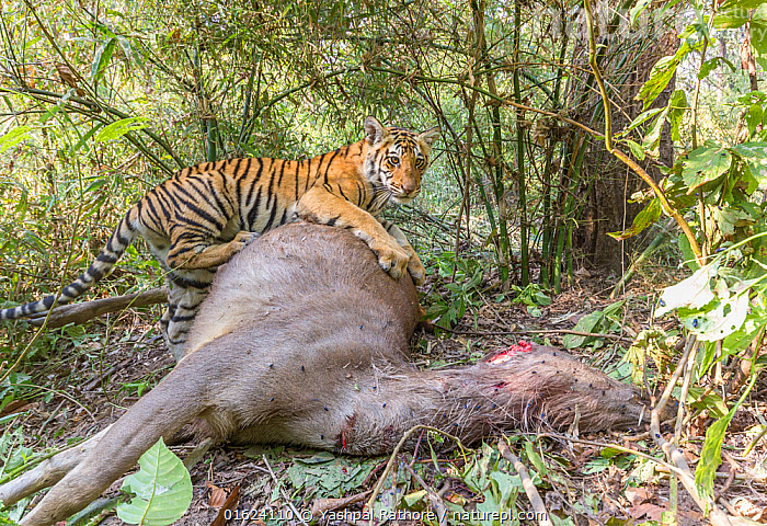 Bengal tiger (Panthera tigris tigirs) cub aged 8-9 months feeding on Sambar deer (Rusa unicolor) kill. Kanha National Park, Central India. Camera trap image.  ,  Animal,Wildlife,Vertebrate,Mammal,Deer,Sambar,Animalia,Animal,Wildlife,Vertebrate,Mammalia,Mammal,Artiodactyla,Even-toed ungulates,Cervidae,Deer,True deer,ruminantia,Ruminant,Rusa,Rusa unicolor,Sambar,Sambar Deer,Indian sambar,Asia,Indian Subcontinent,India,Low Angle View,Young Animal,Baby,Baby Mammal,Cub,Feeding,Reserve,Protected area,National Park,Madhya Pradesh,Kanha National Park,Endangered species,threatened,Vulnerable  ,  Yashpal Rathore