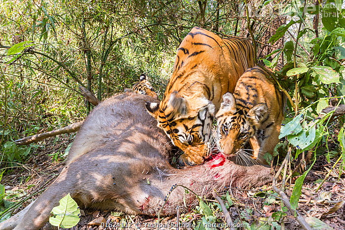 Bengal tiger (Panthera tigris tigris) feeding on Sambar kill with her cubs aged 8-9 months. Kanha National Park, Central India. Camera trap image.  ,  Animal,Wildlife,Vertebrate,Mammal,Carnivore,Cat,Big cat,Tiger,Bengal tiger,Animalia,Animal,Wildlife,Vertebrate,Mammalia,Mammal,Carnivora,Carnivore,Felidae,Cat,Panthera,Big cat,Panthera tigris,Tiger,Felis tigris,Tigris striatus,Tigris regalis,Asia,Indian Subcontinent,India,Low Angle View,Young Animal,Baby,Baby Mammal,Cub,Feeding,Reserve,Bengal tiger,Indian tiger,Protected area,National Park,Madhya Pradesh,Kanha National Park,Endangered species,threatened,Endangered  ,  Yashpal Rathore