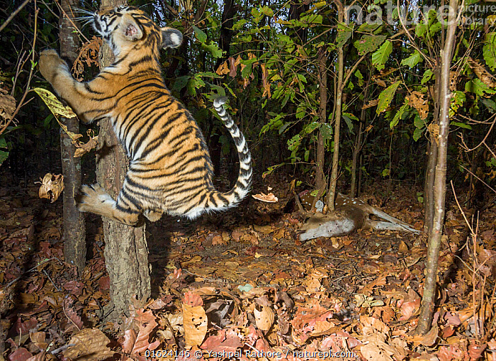 Bengal tiger (Panthera tigris tigris) cub aged less than 2 months, playing near to Spotted deer / Chital (Axis axis) carcass brought by mother. Kanha National Park, Central India. Camera trap image.  ,  Animal,Wildlife,Vertebrate,Mammal,Carnivore,Cat,Big cat,Tiger,Deer,Chital deer,Chital,Bengal tiger,Animalia,Animal,Wildlife,Vertebrate,Mammalia,Mammal,Carnivora,Carnivore,Felidae,Cat,Panthera,Big cat,Panthera tigris,Tiger,Felis tigris,Tigris striatus,Tigris regalis,Artiodactyla,Even-toed ungulates,Cervidae,Deer,True deer,ruminantia,Ruminant,Axis,Chital deer,Axis axis,Chital,Axis Deer,Indian Spotted Deer,Asia,Indian Subcontinent,India,Young Animal,Baby,Baby Mammal,Cub,Animal Behaviour,Playing,Reserve,Bengal tiger,Indian tiger,Behaviour,Play,Playful,Protected area,National Park,Madhya Pradesh,Kanha National Park,Behavioural,Endangered species,threatened,Endangered  ,  Yashpal Rathore