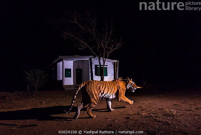 Bengal tiger (Panther tigris tigris) 'T27' patrolling her territory in front of forest guard house along edge of the park. Kanha National Park, Central India. Camera trap image.  ,  Walking,Asia,Indian Subcontinent,India,Animal,Animal Behaviour,Territorial,Reserve,Behaviour,Protected area,National Park,Madhya Pradesh,Moving,Kanha National Park,Behavioural,Movement,Territories,Territory,  ,  Yashpal Rathore