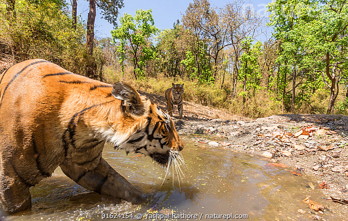 Bengal tiger (Panthera tigris tigris) female (T27) acting cautiously as dominant male (T29) approaches watering hole Kanha National Park, Central India. Camera trap image., Animal,Wildlife,Vertebrate,Mammal,Carnivore,Cat,Big cat,Tiger,Bengal tiger,Animalia,Animal,Wildlife,Vertebrate,Mammalia,Mammal,Carnivora,Carnivore,Felidae,Cat,Panthera,Big cat,Panthera tigris,Tiger,Felis tigris,Tigris striatus,Tigris regalis,Two,Asia,Indian Subcontinent,India,Low Angle View,Female animal,Male Animal,Water Hole,Water Holes,Freshwater,Water,Reserve,Bengal tiger,Indian tiger,Male female pair,Protected area,National Park,Madhya Pradesh,Kanha National Park,Endangered species,threatened,Endangered, Yashpal Rathore