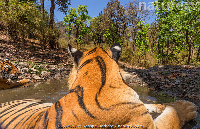 Bengal tiger (Panthera tigris tigris) dominant male (T29) and resident female (T27) cooling off in a waterhole Kanha National Park, Central India. Camera trap image.  ,  Animal,Wildlife,Vertebrate,Mammal,Carnivore,Cat,Big cat,Tiger,Bengal tiger,Animalia,Animal,Wildlife,Vertebrate,Mammalia,Mammal,Carnivora,Carnivore,Felidae,Cat,Panthera,Big cat,Panthera tigris,Tiger,Felis tigris,Tigris striatus,Tigris regalis,Two,Asia,Indian Subcontinent,India,Low Angle View,Female animal,Male Animal,Water Hole,Water Holes,Freshwater,Water,Reserve,Bengal tiger,Indian tiger,Male female pair,Protected area,National Park,Madhya Pradesh,Kanha National Park,Endangered species,threatened,Endangered  ,  Yashpal Rathore