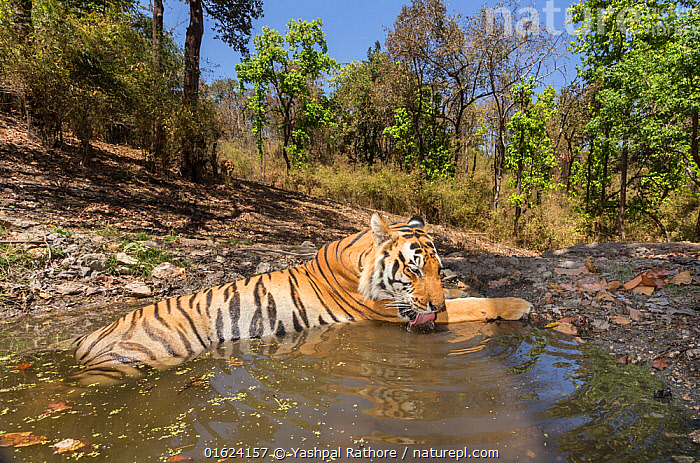 Bengal tiger (Panthera tigris tigris) dominant male (T29) cooling off in a waterhole Kanha National Park, Central India. Camera trap image.  ,  Animal,Wildlife,Vertebrate,Mammal,Carnivore,Cat,Big cat,Tiger,Bengal tiger,Animalia,Animal,Wildlife,Vertebrate,Mammalia,Mammal,Carnivora,Carnivore,Felidae,Cat,Panthera,Big cat,Panthera tigris,Tiger,Felis tigris,Tigris striatus,Tigris regalis,Asia,Indian Subcontinent,India,Low Angle View,Male Animal,Water Hole,Water Holes,Freshwater,Water,Reserve,Bengal tiger,Indian tiger,Protected area,National Park,Madhya Pradesh,Kanha National Park,Endangered species,threatened,Endangered  ,  Yashpal Rathore
