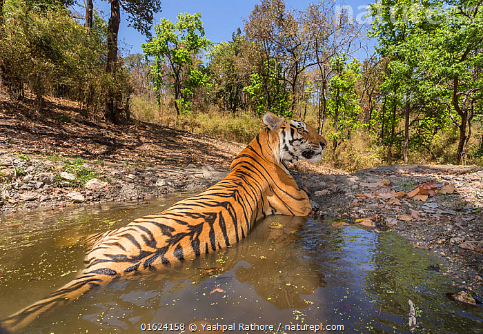 Bengal tiger (Panthera tigris tigris) dominant male (T29) cooling off in a waterhole Kanha National Park, Central India. Camera trap image.  ,  Animal,Wildlife,Vertebrate,Mammal,Carnivore,Cat,Big cat,Tiger,Bengal tiger,Animalia,Animal,Wildlife,Vertebrate,Mammalia,Mammal,Carnivora,Carnivore,Felidae,Cat,Panthera,Big cat,Panthera tigris,Tiger,Felis tigris,Tigris striatus,Tigris regalis,Asia,Indian Subcontinent,India,Low Angle View,Male Animal,Water Hole,Water Holes,Freshwater,Water,Reserve,Bengal tiger,Indian tiger,Protected area,National Park,Madhya Pradesh,Kanha National Park,Endangered species,threatened,Endangered,catalogue12  ,  Yashpal Rathore