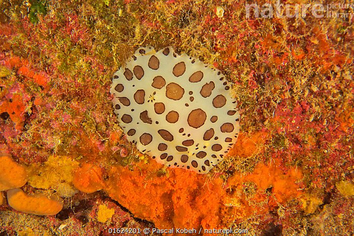 Dotted sea slug (Peltodoris atromaculata), Canary Islands  ,  Animal,Wildlife,Mollusc,Gastropod,Nudibranch,Animalia,Animal,Wildlife,Mollusca,Mollusc,Gastropoda,Gastropod,Nudibranch,Discodoris atromaculata,Ocean,Atlantic Ocean,Marine,Water,Temperate,Atlantic Islands,Saltwater,Sea slug,Seaslug,Seaslugs,Invertebrate,Invertebrates  ,  Pascal Kobeh