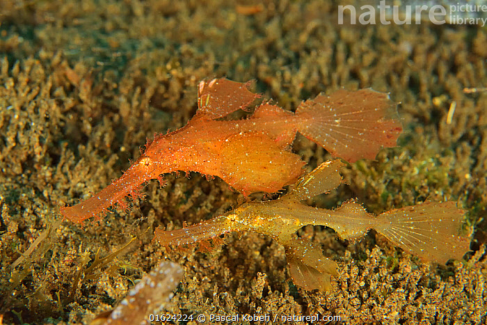 Pair of rough / roughsnout ghost pipefish (Solenostomus paegnius), Sulu sea, Philippines  ,  Animal,Wildlife,Vertebrate,Ray-finned fish,Ghost pipefish,Rough snout ghostpipefish,Animalia,Animal,Wildlife,Vertebrate,Actinopterygii,Ray-finned fish,Osteichthyes,Bony fish,Fish,Syngnathiformes,Solenostomidae,Ghost pipefish,False pipefish,Tubemouth fish,Solenostomus,Asia,South East Asia,Republic of the Philippines,Tropical,Ocean,Pacific Ocean,Marine,Underwater,Water,Indo Pacific,Saltwater,Sea,Biodiversity hotspots,Biodiversity hotspot,Philippines,Solenostomus paegnius,Rough snout ghostpipefish,Sulu Sea,Marine  ,  Pascal Kobeh