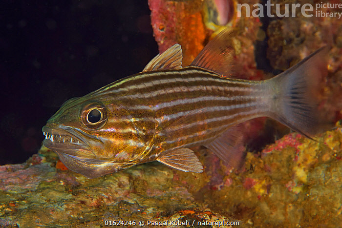 Eight-lined / Large toothed cardinalfish (Cheilodipterus macrodon) with its eggs in its mouth, Sulu sea, Philippines  ,  Animal,Wildlife,Vertebrate,Ray-finned fish,Percomorphi,Cardinalfish,Animalia,Animal,Wildlife,Vertebrate,Actinopterygii,Ray-finned fish,Osteichthyes,Bony fish,Fish,Perciformes,Percomorphi,Acanthopteri,Apogonidae,Cardinalfish,Cheilodipterus,Cheilodipterus macrodon,Protection,Asia,South East Asia,Republic of the Philippines,Animal Eggs,Egg,Eggs,Tropical,Ocean,Pacific Ocean,Marine,Underwater,Water,Indo Pacific,Saltwater,Sea,Biodiversity hotspots,Biodiversity hotspot,Philippines,Protector,Sulu Sea,  ,  Pascal Kobeh