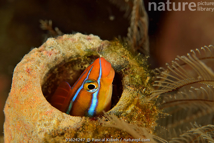Blue-striped blenny (Plagiotremus rhinorhynchos) hiding in a sponge, Sulu sea, Philippines  ,  Animal,Wildlife,Vertebrate,Ray-finned fish,Percomorphi,Combtooth blennies,Blue-lined fangblenny,Homes,Animalia,Animal,Wildlife,Vertebrate,Actinopterygii,Ray-finned fish,Osteichthyes,Bony fish,Fish,Perciformes,Percomorphi,Acanthopteri,Blenniidae,Combtooth blennies,Plagiotremus,Plagiotremus rhinorhynchos,Blue-lined fangblenny,Blunt-nosed blenny,Cleaner mimic,Tube worm blenny,Twostripe blenny,Petroscirtes amblyrhynchos,Runula rhinorhynchos,Petroscirtes rhinorhynchos,Asia,South East Asia,Republic of the Philippines,Tropical,Ocean,Pacific Ocean,Marine,Underwater,Water,Indo Pacific,Saltwater,Sea,Biodiversity hotspots,Biodiversity hotspot,Homes,Philippines,Sulu Sea,Marine  ,  Pascal Kobeh