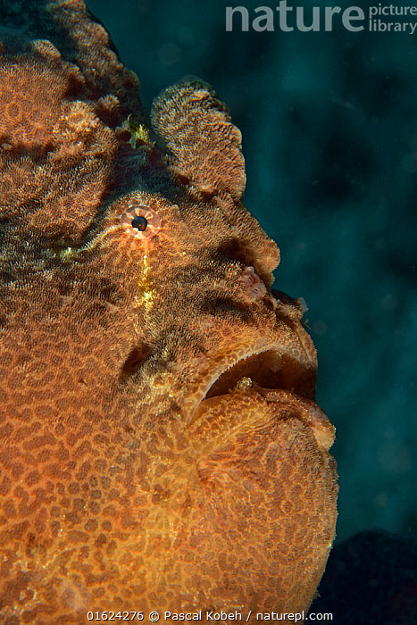 Head of a Giant anglerfish / frogfish (Antennarius commersoni / commerson), Sulu sea, Philippines  ,  Animal,Wildlife,Vertebrate,Ray-finned fish,Frogfish,Commerson&#39,s frogfish,Big angler,Animalia,Animal,Wildlife,Vertebrate,Actinopterygii,Ray-finned fish,Osteichthyes,Bony fish,Fish,Lophiiformes,Antennariidae,Frogfish,Antennarius,Antennarius commerson,Commerson&#39,s frogfish,Giant frogfish,Black angler,Lophius commerson,Antennarius commersonii,Chironectes commersonii,Asia,South East Asia,Republic of the Philippines,Portrait,Tropical,Ocean,Pacific Ocean,Marine,Underwater,Water,Indo Pacific,Saltwater,Sea,Biodiversity hotspots,Biodiversity hotspot,Philippines,Sulu Sea,Giant anglerfish,Big angler,Antennarius comersoni,Marine  ,  Pascal Kobeh