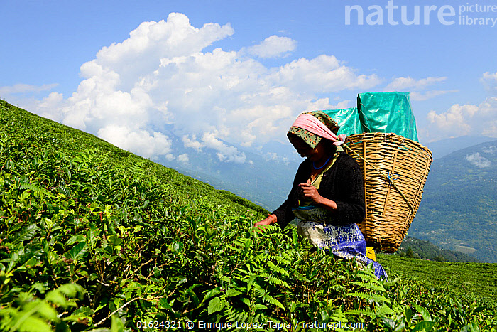 Women picking Tea (Camelia sinensis) leaves by hand in organic tea fields, Temi Tea Garden, Sikkim, India, October 2018.  ,  People,Woman,Asia,Indian Subcontinent,India,Plant,Crops,Produce,Cultivated,Tea Plant,Camellia Sinensis,Tea Plants,Tea Leaf,Tea Leaves,Farm,Farms,Agriculture,Sikkim,,,catalogue12  ,  Enrique Lopez-Tapia