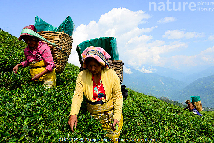 Women picking Tea (Camelia sinensis) leaves by hand in organic tea fields, Temi Tea Garden, Sikkim, India, October 2018., People,Woman,Asia,Indian Subcontinent,India,Plant,Crops,Produce,Cultivated,Tea Plant,Camellia Sinensis,Tea Plants,Tea Leaf,Tea Leaves,Farm,Farms,Agriculture,Sikkim,,,catalogue12, Enrique Lopez-Tapia