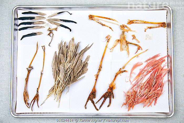 Stomach contents of invasive Burmese pythons (Python bivittatus) are separated and laid out on sheets in order to identify them. Some of the contents seen here are the feet and feathers of a white ibis (Threskiornis molucca) and Roseate spoonbill (Platalea ajaja). Florida, USA. August 2018.  ,  Animal,Wildlife,Vertebrate,Reptile,Squamate,Python,Burmese python,Bird,Birds,Ibis,Australian white ibis,Spoonbill,Roseate spoonbill,American,Snake,Animalia,Animal,Wildlife,Vertebrate,Reptilia,Reptile,Squamata,Squamate,Pythonidae,Python,Python bivittatus,Burmese python,Python molurus bivittatus,Aves,Bird,Birds,Pelecaniformes,Threskiornithidae,Threskiornis,Ibis,Ibe,Ibide,Threskiornithinae,Threskiornis molucca,Australian white ibis,Australian ibis,Indonesian white ibis,Platalea,Spoonbill,Plataleinae,Platalea ajaja,Roseate spoonbill,Ajaia ajaja,Research,Researching,North America,USA,Southern USA,Southeast USA,Florida,Science,Conservation,Exotics,Alien,Alien Species,Invasive,Introduced species,American,United States of America,Snake,  ,  Karine Aigner