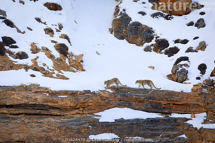 Snow leopard (Panthera uncia) female with juvenile, walking in snow, in Spiti Valley, Cold Desert Biosphere Reserve, Himalaya, Himachal Pradesh, India, March, Animal,Wildlife,Vertebrate,Mammal,Carnivore,Cat,Snow leopard,Animalia,Animal,Wildlife,Vertebrate,Mammalia,Mammal,Carnivora,Carnivore,Felidae,Cat,Uncia,Snow leopards,Uncia uncia,Snow leopard,Ounce,Panthera uncia,Felis Urbis,Asia,Indian Subcontinent,India,Mountain,Snow,Habitat,Reserve,Himalaya,Biodiversity hotspot,Protected area,Himachal Pradesh,Endangered species,threatened,Endangered, Oriol  Alamany