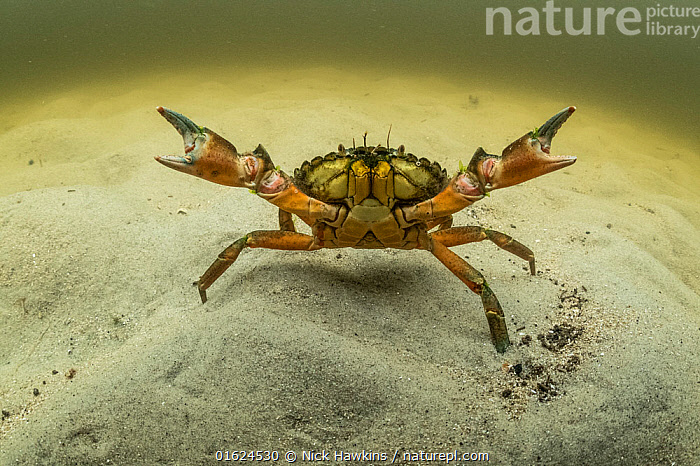 European green crab (Carcinus maenas), an invasive species in North America, Kejimkujik Seaside National Park, Nova Scotia, Canada. July.  ,  Animal,Wildlife,Crustacean,Decapod,Swimming crab,European Green Crab,Animalia,Animal,Wildlife,Crustracea,Crustacean,Malacostraca,Decapoda,Decapod,Portunidae,Swimming crab,Carcinus,Carcinus maenas,European Green Crab,Common shore crab,Shore Crab,European shore crab,Cancer granulatus,Cancer pygmeus,Cancer rhomboidalis,North America,Canada,Nova Scotia,Portrait,Ocean,Atlantic Ocean,Marine,Underwater,Water,Animal Behaviour,Aggression,Temperate,Arthropod,Arthropods,Behaviour,Saltwater,Exotics,Alien,Alien Species,Invasive,Invertebrate,Introduced species,Behavioural,Marine,catalogue12  ,  Nick Hawkins