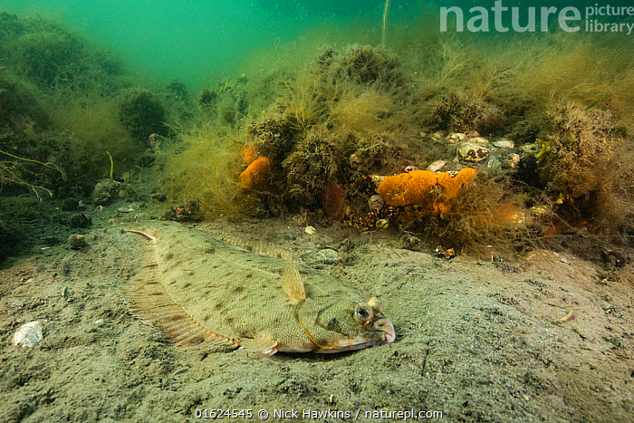 A winter flounder (Pseudopleuronectes americanus) camoflages against the seafloor off Nova Scotia, Canada. July.  ,  Animal,Wildlife,Vertebrate,Ray-finned fish,Flatfish,Righeye flounder,Winter flounder,Animalia,Animal,Wildlife,Vertebrate,Actinopterygii,Ray-finned fish,Osteichthyes,Bony fish,Fish,Pleuronectiformes,Flatfish,Pleuronectidae,Righeye flounder,Pseudopleuronectes,Pseudopleuronectes americanus,Winter flounder,Platessa pusilla,Pleuronectes americanus,Pseudopleudronectes dignabilis,Camouflage,North America,Canada,Nova Scotia,Seabed,Ocean,Atlantic Ocean,Marine,Underwater,Water,Temperate,Saltwater,Marine  ,  Nick Hawkins