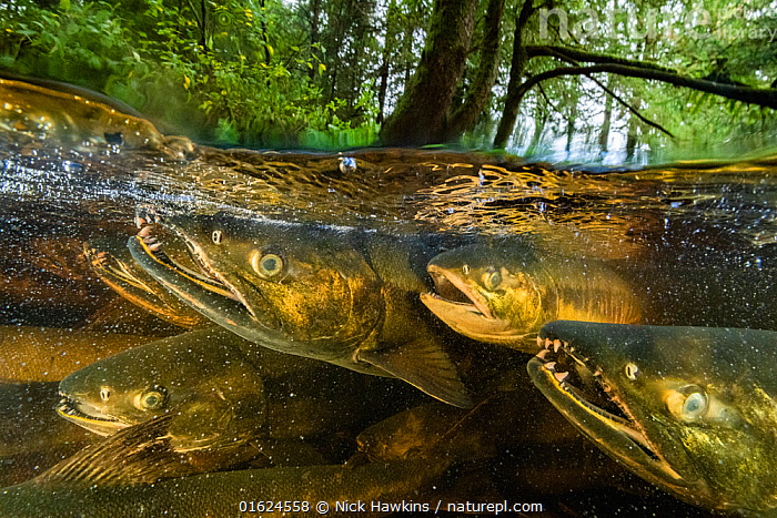 Chum salmon (Oncorhynchus keta) migrate up a small river near Bella Bella, British Columbia, Canada. September  ,  Animal,Wildlife,Vertebrate,Ray-finned fish,Percomorphi,Salmonid,Pacific salmonids,Chum salmon,Animalia,Animal,Wildlife,Vertebrate,Actinopterygii,Ray-finned fish,Osteichthyes,Bony fish,Fish,Perciformes,Percomorphi,Acanthopteri,Salmonidae,Salmonid,Oncorhynchus,Pacific salmonids,Oncorhynchus keta,Chum salmon,Dog salmon,Keta salmon,Fall salmon,Salmo keta,Oncorhynchus canis,Salmo lagocephalus,Migration,Spawning,North America,Canada,British Columbia,Flowing Water,River,Freshwater,Underwater,Split level,Water,Animal Behaviour,Reproduction,Mating Behaviour,Behaviour,Behavioural,,catalogue12  ,  Nick Hawkins