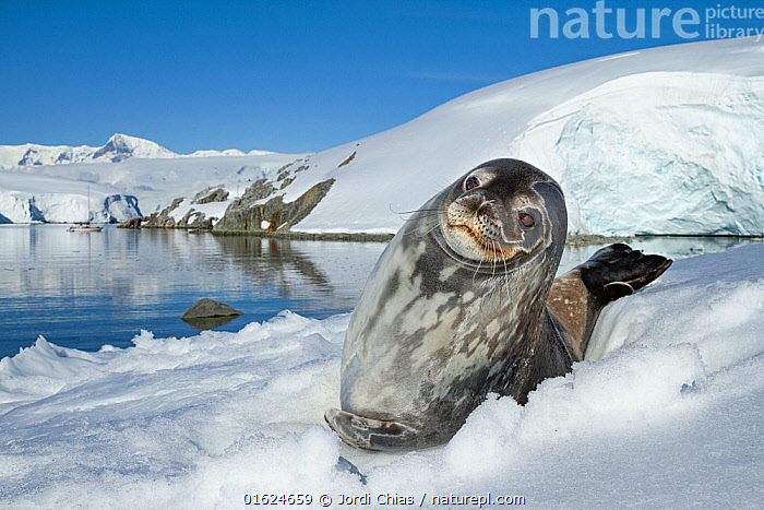 Weddell seal (Leptonychotes weddellii) hauled out on ice,  Antarctic Peninsula, Antarctica.  ,  Animal,Wildlife,Vertebrate,Mammal,Carnivore,True seal,Weddell seal,Catalogue13,Animalia,Animal,Wildlife,Vertebrate,Mammalia,Mammal,Carnivora,Carnivore,Phocidae,True seal,Pinnipeds,pinnipedia,Leptonychotes,Leptonychotes weddellii,Weddell seal,Otaria weddellii,Leptonychotes leopardinus,Leptonychotes leptonyx,Antarctica,Antarctic,Polar,Portrait,Ice,Ocean,Landscape,Coast,Marine,Coastal,Water,Saltwater,Antarctic ocean,Antarctic Peninsula,Hauled out,Catalogue13,Animals,Vertebrates,Chordates,Mammals,Carnivores,True seals,Pinnipeds,Portraits,Landscapes,Coasts,Oceans,Animal,Wildlife,Vertebrate,Mammal,Carnivore,True seal,Weddell seal  ,  Jordi Chias