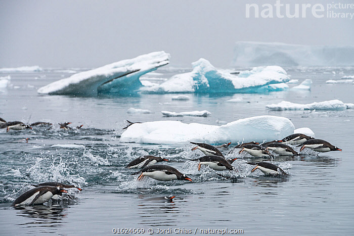 Gentoo penguins (Pygoscelis papua) swimming together in search of krill, Antarctic Peninsula, Antarctica.  ,  Animal,Wildlife,Vertebrate,Bird,Birds,Penguin,Gentoo penguin,Animalia,Animal,Wildlife,Vertebrate,Aves,Bird,Birds,Sphenisciformes,Penguin,Seabird,Spheniscidae,Pygoscelis,Pygoscelis papua,Gentoo penguin,Swimming,Antarctica,Antarctic,Polar,Ice,Iceberg,Icebergs,Ocean,Marine,Water,Saltwater,Antarctic ocean,Surface,Southern ocean,Antarctic Peninsula,Flightless  ,  Jordi Chias