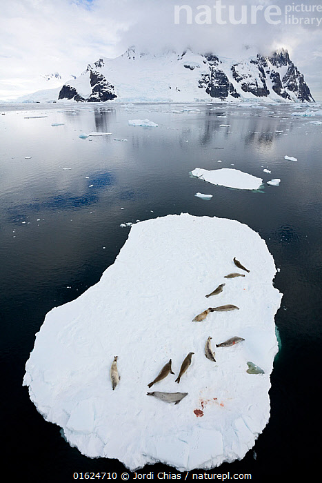 Crabeater seals (Lobodon carcinophaga) resting on ice floating ice sheet, Antarctic Peninsula, Antarctica.  ,  Animal,Wildlife,Vertebrate,Mammal,Carnivore,True seal,Crabeater seal,Animalia,Animal,Wildlife,Vertebrate,Mammalia,Mammal,Carnivora,Carnivore,Phocidae,True seal,Pinnipeds,pinnipedia,Lobodon,Lobodon carcinophaga,Crabeater seal,Lobodon carcinophagus,Resting,Rest,Antarctica,Antarctic,Polar,Aerial View,High Angle View,Reflection,Ice,Iceberg,Icebergs,Ocean,Marine,Water,Cold Water,Saltwater,Antarctic ocean,Coldwater,Elevated view,Southern ocean,Antarctic Peninsula,Hauled out,Marine  ,  Jordi Chias