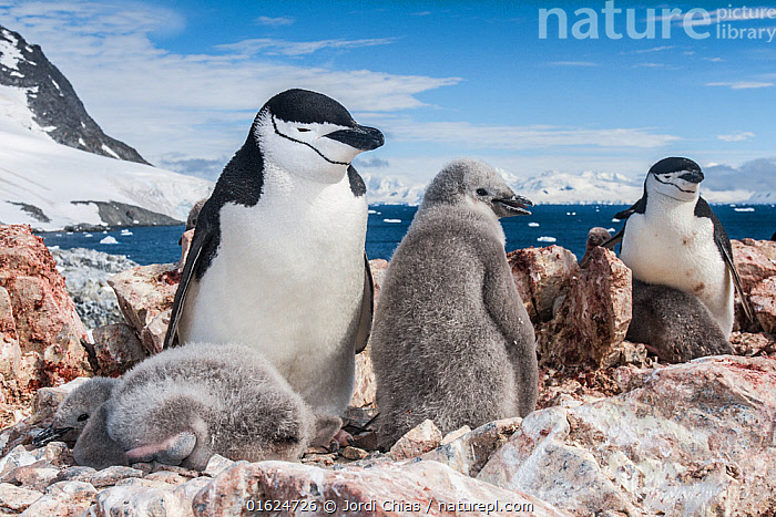 Chinstrap penguin (Pygoscelis antarcticus) with chicks, Antarctic Peninsula, Antarctica.  ,  Animal,Wildlife,Vertebrate,Bird,Birds,Penguin,Chinstrap penguin,Animalia,Animal,Wildlife,Vertebrate,Aves,Bird,Birds,Sphenisciformes,Penguin,Seabird,Spheniscidae,Pygoscelis,Pygoscelis antarcticus,Chinstrap penguin,Bearded penguin,Ringed penguin,Pygoscelis antarctica,Antarctica,Antarctic,Polar,Young Animal,Baby,Chick,Antarctic Peninsula,Flightless  ,  Jordi Chias