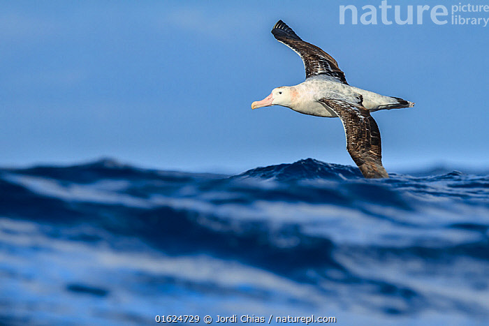 Wandering albatross (Diomedea exulans) flying on the open ocean, Drake passage, Antarctic Peninsula, Antarctica., Animal,Wildlife,Vertebrate,Bird,Birds,Tubenose,Albatross,Wandering albatross,Animalia,Animal,Wildlife,Vertebrate,Aves,Bird,Birds,Procellariiformes,Tubenose,Tubinare,Seabird,Diomedeidae,Albatross,Diomedea,Diomedea exulans,Wandering albatross,Snowy albatross,White winged albatross,Flying,Antarctica,Antarctic,Polar,Ocean,Marine,Water,Saltwater,Antarctic ocean,Southern ocean,Antarctic Peninsula,Seabird,Seabirds,Marine bird,Marine birds,Pelagic bird,Pelagic birds,Endangered species,threatened,Vulnerable, Jordi Chias