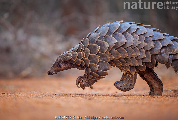 Temminck's ground pangolin (Smutsia temminckii) foraging during a soft release from the Rhino Revolution rehabilitation facility in South Africa. This pangolin was saved from poachers in an anti-poaching sting operation.  ,  Animal,Wildlife,Vertebrate,Mammal,Pangolin,Pangolins,Cape Pangolin,Animalia,Animal,Wildlife,Vertebrate,Mammalia,Mammal,Pholidota,Pangolin,Manidae,Pangolins,Scaly anteater,Trenggiling,Smutsia,Smutsia temminckii,Cape Pangolin,Ground Pangolin,Scaly Anteater,South African Pangolin,Temminck&#39,s Ground Pangolin,Manis temminckii,Africa,Southern Africa,South Africa,Scale,Animal Scale,Scaly,Conservation,Animal rehabilitation,Rehabilitation,Wildlife trade,Wildlife conservation,Conservation issues,Animal trade,South African,Animal orphan,Orphan,  ,  Neil Aldridge