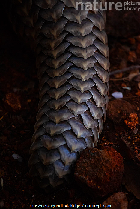 Tail of an adult Temminck's Ground Pangolin (Smutsia temminckii) showing the scales that make pangolins the world's most illegally trafficked mammal. More pangolins are illegally trafficked than any other mammal globally so that their scales can be used in traditional Chinese medicine. This pangolin was rescued during a sting operation from poachers and rehabilitated at the Rhino Revolution facility in Limpopo Province, South Africa. The species is classified as vulnerable to extinction by the IUCN.  ,  Animal,Wildlife,Vertebrate,Mammal,Pangolin,Pangolins,Cape Pangolin,Animalia,Animal,Wildlife,Vertebrate,Mammalia,Mammal,Pholidota,Pangolin,Manidae,Pangolins,Scaly anteater,Trenggiling,Smutsia,Smutsia temminckii,Cape Pangolin,Ground Pangolin,Scaly Anteater,South African Pangolin,Temminck&#39,s Ground Pangolin,Manis temminckii,Africa,Southern Africa,South Africa,Scale,Animal Scale,Scaly,Tail,Conservation,Animal rehabilitation,Rehabilitation,Wildlife trade,Wildlife conservation,Conservation issues,Animal trade,South African,Animal orphan,Orphan,  ,  Neil Aldridge