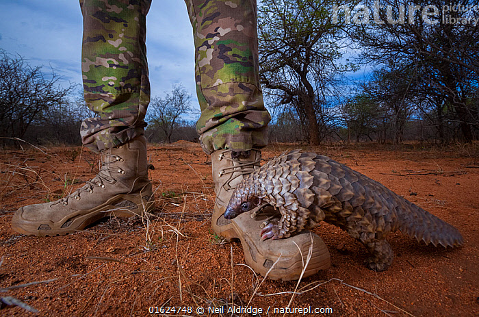 Orphaned Temminck's ground pangolin (Smutsia temminckii) climbs on to the boot of an anti-poaching guard while foraging during rehabilitation at the Rhino Revolution facility in South Africa. This orphan's behavior mirrors its natural instinct as young pangolins spend the first months of their lives riding off the ground on their mothers. This orphan was found abandoned after its mother was taken by poachers. Highly Commended in Mont Photo competition 2019 (Environmental Report section)., Animal,Wildlife,Vertebrate,Mammal,Pangolin,Pangolins,Cape Pangolin,Animalia,Animal,Wildlife,Vertebrate,Mammalia,Mammal,Pholidota,Pangolin,Manidae,Pangolins,Scaly anteater,Trenggiling,Smutsia,Smutsia temminckii,Cape Pangolin,Ground Pangolin,Scaly Anteater,South African Pangolin,Temminck&#39,s Ground Pangolin,Manis temminckii,Foraging,People,Cute,Adorable,Africa,Southern Africa,South Africa,Conservation,Animal rehabilitation,Rehabilitation,Wildlife trade,Wildlife conservation,Conservation issues,Animal trade,South African,Animal orphan,Orphan,,,competition winners 2019,, Neil Aldridge
