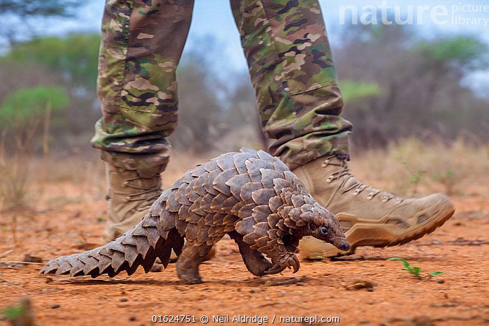 Anti-poaching guard walking alongside an adult Temminck's ground pangolin (Smutsia temminckii) while it forages for ants during its rehabilitation at the Rhino Revolution facility in South Africa. This pangolin was saved from poachers., Animal,Wildlife,Vertebrate,Mammal,Pangolin,Pangolins,Cape Pangolin,Animalia,Animal,Wildlife,Vertebrate,Mammalia,Mammal,Pholidota,Pangolin,Manidae,Pangolins,Scaly anteater,Trenggiling,Smutsia,Smutsia temminckii,Cape Pangolin,Ground Pangolin,Scaly Anteater,South African Pangolin,Temminck&#39,s Ground Pangolin,Manis temminckii,Walking,People,Africa,Southern Africa,South Africa,Profile,Side View,Scale,Animal Scale,Scaly,Conservation,Animal rehabilitation,Rehabilitation,Wildlife trade,Wildlife conservation,Conservation issues,Animal trade,South African,Animal orphan,Orphan,Moving,Movement,, Neil Aldridge