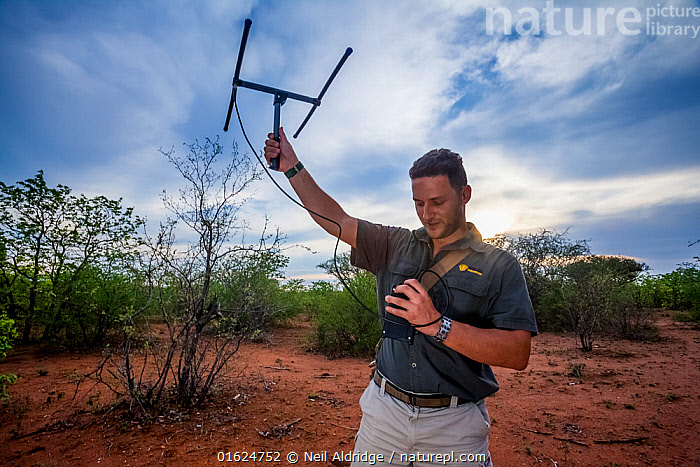 Researcher Francois Meyer uses radio telemetry to search for an adult Temminck's ground pangolin (Smutsia temminckii) that had been released back into the wild following its rehabilitation and rescue from poachers in Limpopo Province, South Africa.  ,  Animal,Wildlife,Vertebrate,Mammal,Pangolin,Pangolins,Cape Pangolin,Animalia,Animal,Wildlife,Vertebrate,Mammalia,Mammal,Pholidota,Pangolin,Manidae,Pangolins,Scaly anteater,Trenggiling,Smutsia,Smutsia temminckii,Cape Pangolin,Ground Pangolin,Scaly Anteater,South African Pangolin,Temminck&#39,s Ground Pangolin,Manis temminckii,People,Africa,Southern Africa,South Africa,Equipment,Conservation,Animal rehabilitation,Rehabilitation,Wildlife trade,Wildlife conservation,Conservation issues,Conservation equipment,Radio trackers,Animal trade,South African,Animal orphan,Orphan,  ,  Neil Aldridge