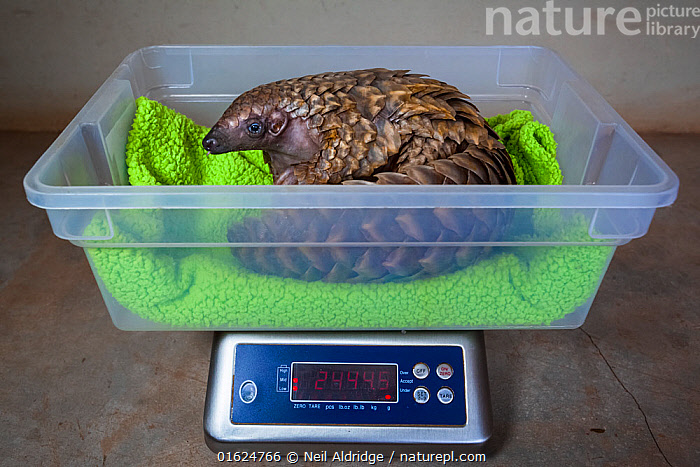 Orphaned Temminck's ground pangolin (Smutsia temminckii) is weighed to monitor its condition during rehabilitation at the Rhino Revolution facility in South Africa. This orphan was found abandoned after its mother was taken by poachers.  ,  Animal,Wildlife,Vertebrate,Mammal,Pangolin,Pangolins,Cape Pangolin,Animalia,Animal,Wildlife,Vertebrate,Mammalia,Mammal,Pholidota,Pangolin,Manidae,Pangolins,Scaly anteater,Trenggiling,Smutsia,Smutsia temminckii,Cape Pangolin,Ground Pangolin,Scaly Anteater,South African Pangolin,Temminck&#39,s Ground Pangolin,Manis temminckii,Measuring,Weighing,Africa,Southern Africa,South Africa,Scale,Animal Scale,Scaly,Conservation,Animal rehabilitation,Rehabilitation,Wildlife trade,Wildlife conservation,Conservation issues,Animal trade,South African,Animal orphan,Orphan,  ,  Neil Aldridge