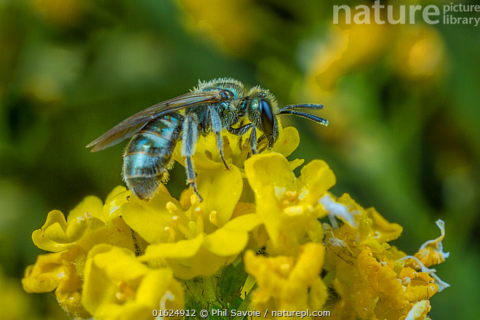 Smeathman's furrow bee (Lasioglossum smeathmanellum) tiny bee feeding on pollen on flowers, Monmouthshire, Wales, UK. March, Animal,Wildlife,Arthropod,Insect,Sweat bee,Solitary bee,Smeathman&#39,s Furrow Bee,Animalia,Animal,Wildlife,Hexapoda,Arthropod,Invertebrate,Hexapod,Arthropoda,Insecta,Insect,Hymenoptera,Halictidae,Sweat bee,Bee,Halictid bee,Apoidea,Apocrita,Lasioglossum,Halictinae,Pollination,Colour,Yellow,Europe,Western Europe,UK,Great Britain,Wales,Plant,Flower,Pollen,Feeding,Monmouthshire,Solitary bee,Lasioglossum smeathmanellum,Smeathman&#39,s Furrow Bee,, Phil Savoie