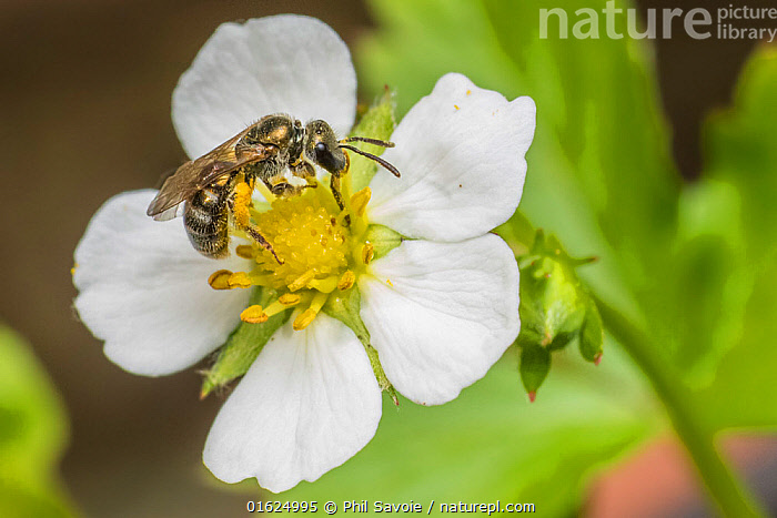 Smeathman's furrow bee (Lasioglossum smeathmanellum), feeding on wild alpine strawberry (Fragaria vesca), Monmouthshire, Wales, UK. December, Plant,Vascular plant,Flowering plant,Rosid,Strawberry,Wild strawberry plant,Plantae,Plant,Tracheophyta,Vascular plant,Magnoliopsida,Flowering plant,Angiosperm,Seed plant,Spermatophyte,Spermatophytina,Angiospermae,Rosales,Rosid,Dicot,Dicotyledon,Rosanae,Rosaceae,Fragaria,Strawberry,Fragaria vesca,Wild strawberry plant,Woodland strawberry,Alpine strawberry,Fragaria chinensis,Fragaria concolor,Potentilla vesca,Pollination,Colour,White,Europe,Western Europe,UK,Great Britain,Wales,Animal,Flower,Animal Behaviour,Feeding,Behaviour,Monmouthshire,Behavioural,,catalogue12, Phil Savoie