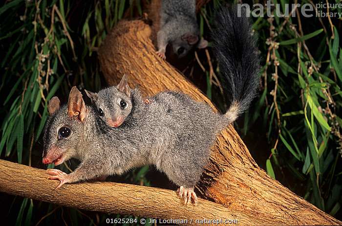 Brush-tailed phascogale (Phascogale tapoatafa) female with young, Kingston Forest, Western Australia, October., from slide,,Animal,Wildlife,Vertebrate,Mammal,Marsupial,Brush-tailed phascogale,Animalia,Animal,Wildlife,Vertebrate,Mammalia,Mammal,Marsupialia,Marsupial,Dasyuridae,Australasia,Australia,Western Australia,Young Animal,Baby,Female animal,Family,Mother baby,Mother,Wambenger,Brush-tailed phascogale,Parent baby,, Jiri Lochman