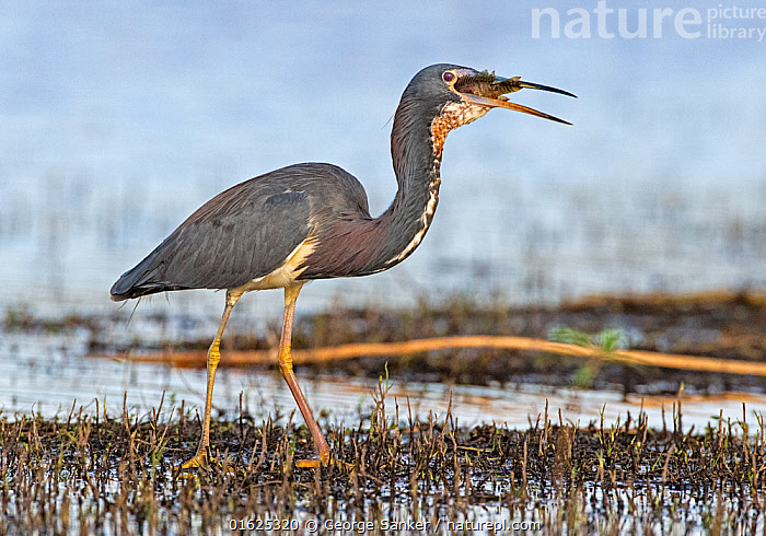 Tricoloured heron (Egretta tricolor) swallowing prey at dusk. Myakka River State Park, Florida, USA. March., Animal,Wildlife,Vertebrate,Bird,Birds,True egret,Tricoloured heron,American,Animalia,Animal,Wildlife,Vertebrate,Aves,Bird,Birds,Pelecaniformes,Ardeidae,Egretta,True egret,Heron,Ardeinae,Egretta tricolor,Tricoloured heron,Louisiana heron,Standing,North America,USA,Southern USA,Southeast USA,Florida,Profile,Side View,Mouth,Beak,Freshwater,Wetland,Water,Feeding,Reserve,Protected area,Open Mouth,State park,American,United States of America,Myakka River State Park,, George  Sanker