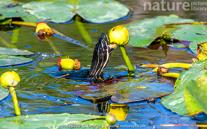 Florida red-bellied cooter turtle (Pseudemys nelsoni) feeding on Water lily (Nymphaeaceae) flower. Everglades National Park, Florida, USA. March.  ,  Animal,Wildlife,Vertebrate,Reptile,Testitudine,Pond Turtles,Cooters,Florida Red-bellied Cooter,American,Animalia,Animal,Wildlife,Vertebrate,Reptilia,Reptile,Chelonii,Testitudine,Emydidae,Pond Turtles,Marsh turtles,Turtle,Pseudemys,Cooters,Pseudemys nelsoni,Florida Red-bellied Cooter,Florida Redbelly Turtle,North America,USA,Southern USA,Southeast USA,Florida,Plant,Flower,Mouth,Freshwater,Wetland,Water,Feeding,Reserve,Protected area,National Park,Everglades National Park,Open Mouth,American,United States of America,  ,  George  Sanker