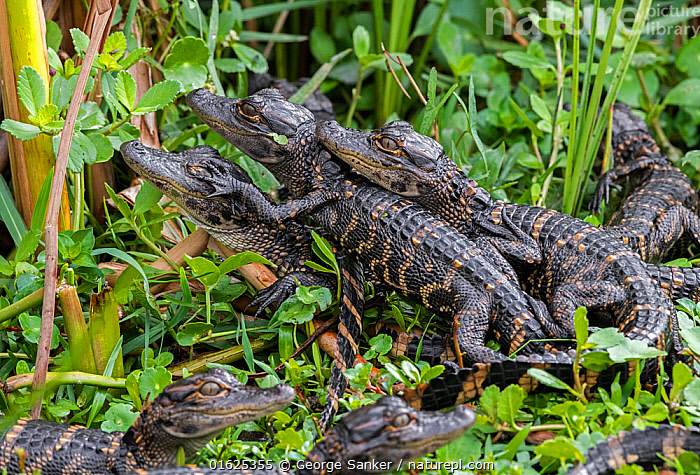 American alligator (Alligator mississippiensis), pod of juveniles resting on top of each other. Everglades National Park, Florida, USA, March.  ,  Animal,Wildlife,Vertebrate,Reptile,Crocodilian,Alligator,American,Animalia,Animal,Wildlife,Vertebrate,Reptilia,Reptile,Crocodylia,Crocodilian,Crocodilia,Alligatoridae,Alligator,Alligator mississippiensis,Gator,American alligator,Florida alligator,Mississippi alligator,Louisiana alligator,Crocodilus mississipiensis,Crocodilus lucius,Alligator lucius,Resting,Rest,Sibling,Siblings,Group Of Animals,Group,North America,USA,Southern USA,Southeast USA,Florida,Young Animal,Wetland,Reserve,Family,Protected area,National Park,Pod,Everglades National Park,American,United States of America,  ,  George  Sanker
