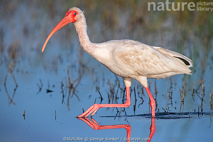 American white ibis (Eudocimus albus) wading in morning light. Myakka River State Park, Florida, USA, March., Animal,Wildlife,Vertebrate,Bird,Birds,Ibis,White ibis,American,Animalia,Animal,Wildlife,Vertebrate,Aves,Bird,Birds,Pelecaniformes,Threskiornithidae,Eudocimus,Ibis,Ibe,Ibide,Threskiornithinae,Eudocimus albus,White ibis,American white ibis,Wading,Walking,Mood,Calm,Colour,Pink,North America,USA,Southern USA,Southeast USA,Florida,Side View,Animal Legs,Legs,Leg,Beak,Reflection,Freshwater,Wetland,Water Surface,Water,Reserve,Protected area,Moving,State park,American,United States of America,Myakka River State Park,Movement,, George  Sanker
