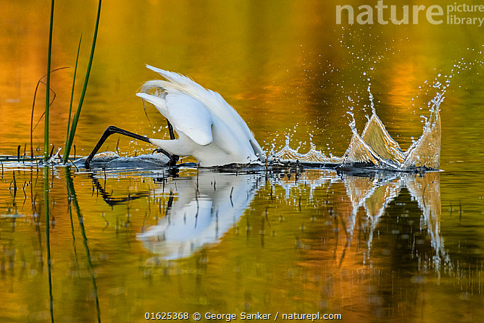 Great egret (Ardea alba) diving head into water to catch prey, in evening light. Myakka River State Park, Florida, USA, March. Sequence 1/2.  ,  Animal,Wildlife,Vertebrate,Bird,Birds,Typical heron,Great egret,American,Animalia,Animal,Wildlife,Vertebrate,Aves,Bird,Birds,Pelecaniformes,Ardeidae,Ardea,Typical heron,Heron,Ardeinae,Ardea alba,Great egret,Great white egret,Large egret,Great white heron,Casmerodius albus,Egretta alba,Diving,Splashing,North America,USA,Southern USA,Southeast USA,Florida,Reflection,Freshwater,Wetland,Water Surface,Water,Animal Behaviour,Predation,Hunting,Reserve,Behaviour,Fishing,Protected area,State park,American,Jalohaikara,United States of America,Myakka River State Park,Behavioural,  ,  George  Sanker