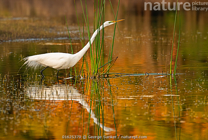 Great egret (Ardea alba) fishing in evening light. Myakka River State Park, Florida, USA, March., Animal,Wildlife,Vertebrate,Bird,Birds,Typical heron,Great egret,American,Animalia,Animal,Wildlife,Vertebrate,Aves,Bird,Birds,Pelecaniformes,Ardeidae,Ardea,Typical heron,Heron,Ardeinae,Ardea alba,Great egret,Great white egret,Large egret,Great white heron,Casmerodius albus,Egretta alba,North America,USA,Southern USA,Southeast USA,Florida,Feather,Reflection,Freshwater,Wetland,Water Surface,Water,Animal Behaviour,Predation,Hunting,Reserve,Behaviour,Fishing,Protected area,Tail Feather,State park,American,Jalohaikara,United States of America,Myakka River State Park,Behavioural,, George  Sanker